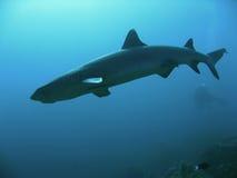 Ocean encounter Shark diver sipadan. Scuba diver behind white tip reef shark sipadan island in sabah borneo Royalty Free Stock Photo