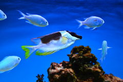 Ocean exotic fish Royalty Free Stock Photo