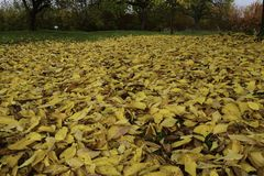 Ocean Of Fallen Leaves Royalty Free Stock Images