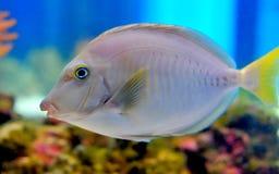 Ocean fish. Grey ocean fish in aquarium royalty free stock images