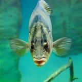 Ocean fish in the aquarium close-up u nder water. Ocean fish in the aquarium close-up stock photos