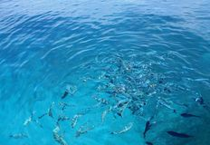 Ocean and fish background. School of fish feeding near the surface of the ocean Royalty Free Stock Image