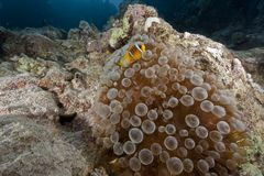 Ocean, fish and bubble anemone Royalty Free Stock Images