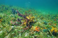 Ocean floor with colorful sea sponges Royalty Free Stock Images