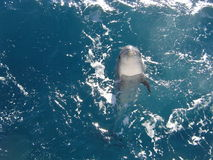 Ocean free Dolphin. This is a photo taken from a boat of the coast of Western Australia at Lancelin, the dolphin is a wild one that came along side our boat just Stock Image