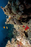 Ocean and giant moray Royalty Free Stock Photos