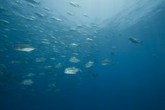 Ocean and giant trevally Stock Images