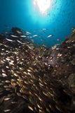 Ocean, glassfish and barracudas Royalty Free Stock Photography