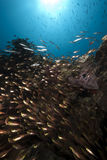 Ocean, glassfish and barracudas Royalty Free Stock Image