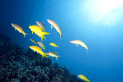 Ocean and goatfish Stock Photo