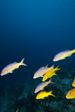 Ocean and goatfish Royalty Free Stock Photography