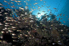 Ocean and golden sweepers. Taken in the red sea Stock Photo
