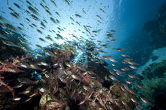 Ocean and golden sweepers. Taken in the red sea Stock Photography