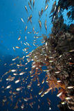 Ocean and golden sweepers. Taken in the red sea Stock Photos