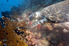 Ocean and hawksbill turtle Royalty Free Stock Image