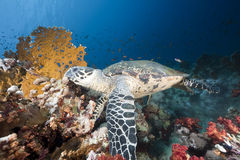 Ocean and hawksbill turtle Royalty Free Stock Photo