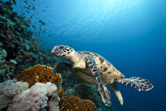 Ocean and hawksbill turtle Stock Photography