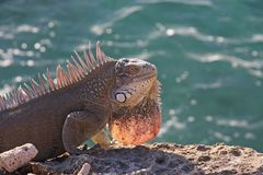 Ocean iguana Royalty Free Stock Images