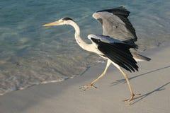 ocean indyjski heron zdjęcie stock