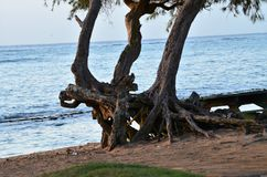 An ocean landscape with tropical twisted entangled trees along the shoreline. While walking alone the ocean shoreline, I came upon this unique entangled, twisted Royalty Free Stock Photography