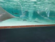 Sting rays, aquarium, ocean life stock photography