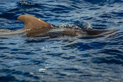 Dolphin jumping outside the ocean. Ocean Life - Dolphin. dolphin jumping outside the ocean royalty free stock images