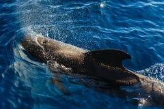 Dolphin jumping outside the ocean. Ocean Life - Dolphin. dolphin jumping outside the ocean stock photography