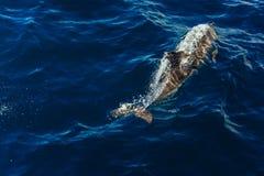 Dolphin jumping outside the ocean. Ocean Life - Dolphin. dolphin jumping outside the ocean stock image