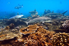 Ocean life four sharks in action underwater. One whitetip and three blacktip sharks shouted underwater in native blue environment with coral reef royalty free stock photo