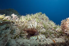 Ocean and lionfish Stock Photo