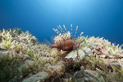 Ocean and lionfish Stock Photos