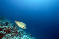 Ocean and napoleon wrasse Royalty Free Stock Photography