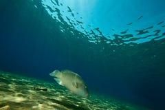 Ocean and napoleon wrasse Royalty Free Stock Photo
