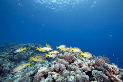 Ocean and one-spot snappers Stock Photo