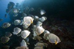 Ocean and orbicular spadefish Stock Photos
