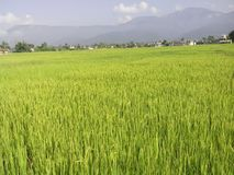 Ocean of paddy field royalty free stock image