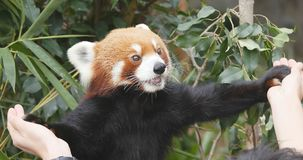 Ocean Park, Hong Kong, 09 December 2017:-Cute Red panda giving h. And to trainer Royalty Free Stock Image