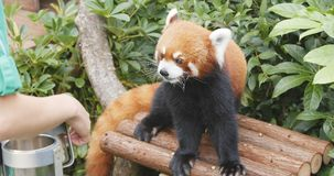 Ocean Park, Hong Kong, 09 December 2017:-Red panda playing with. Trainer Stock Photo