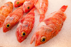 Ocean perch. Fish on ice royalty free stock image
