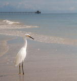 Ocean pier with egret. Royalty Free Stock Image