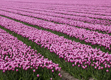 Ocean of pink tulips Stock Photo