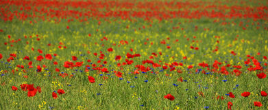 Ocean of poppies. A field of red blossoms of poppies Royalty Free Stock Image