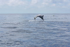 Ocean's Beauty. Wild striped dolphin swimming on the ocean Stock Photos