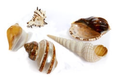 Ocean`s shells 2. It`s a ocean`s shells from the sea bottom Royalty Free Stock Photos
