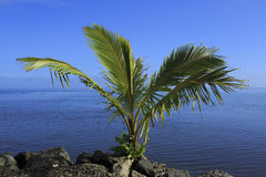 Ocean scene with a small palm. A little palm tree on the Beach at Oahu, Hawaii Stock Photos