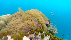 Ocean scenery on shallow coral reef. Underwater video of the ocean. Small fish swim erratically and hidden by algae. Colored corals and fish in the Maldives stock video