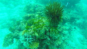 Ocean scenery on shallow coral reef. Underwater video of the ocean. Small fish swim erratically and hidden by algae stock video footage