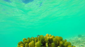 Ocean scenery on shallow coral reef. Underwater video of the ocean. Small fish swim erratically and hidden by algae stock video