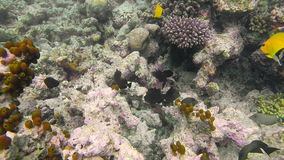 Ocean scenery on shallow coral reef. Underwater video of the ocean. Small fish swim erratically and hidden by algae. Colored corals and fish in the Maldives stock video footage