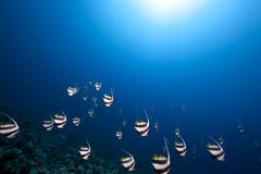 Ocean and schooling bannerfish Royalty Free Stock Photos
